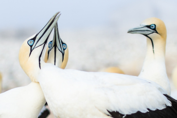 Cape Gannets: Indicators of the state of our oceans?
