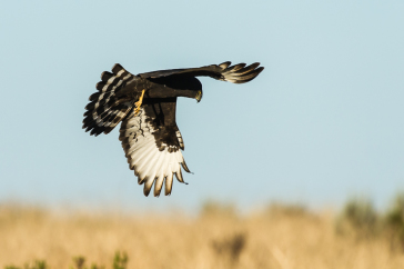 Flagship Species: The Black Harrier