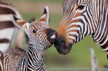 Saving Stripes – The Cape Mountain Zebra