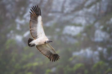 Last Remaining Colony of Cape Vultures within the Western Cape