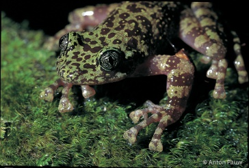 Table Mountain Ghost Frog