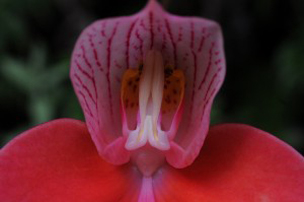 Introducing our rare red orchid and her remarkable pollinator